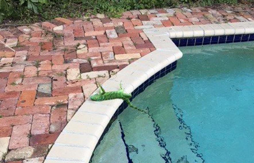 Iguana Morta pelo Frio