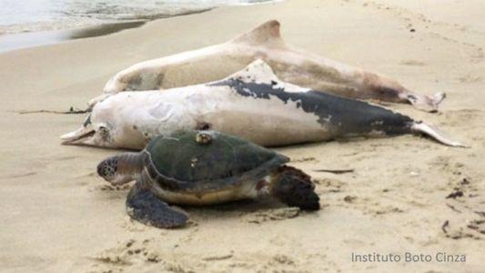 Cientistas Perplexos com o Grande Número de Mortes de Golfinhos