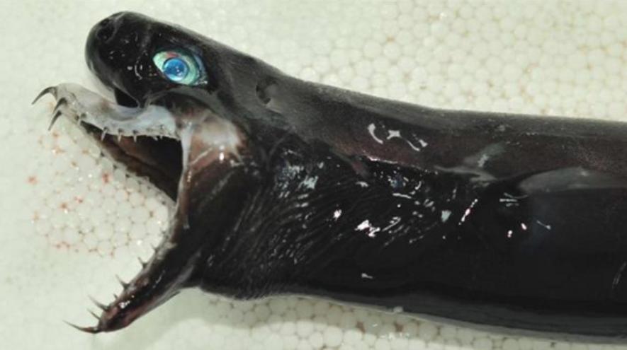 Tubarão-víbora
