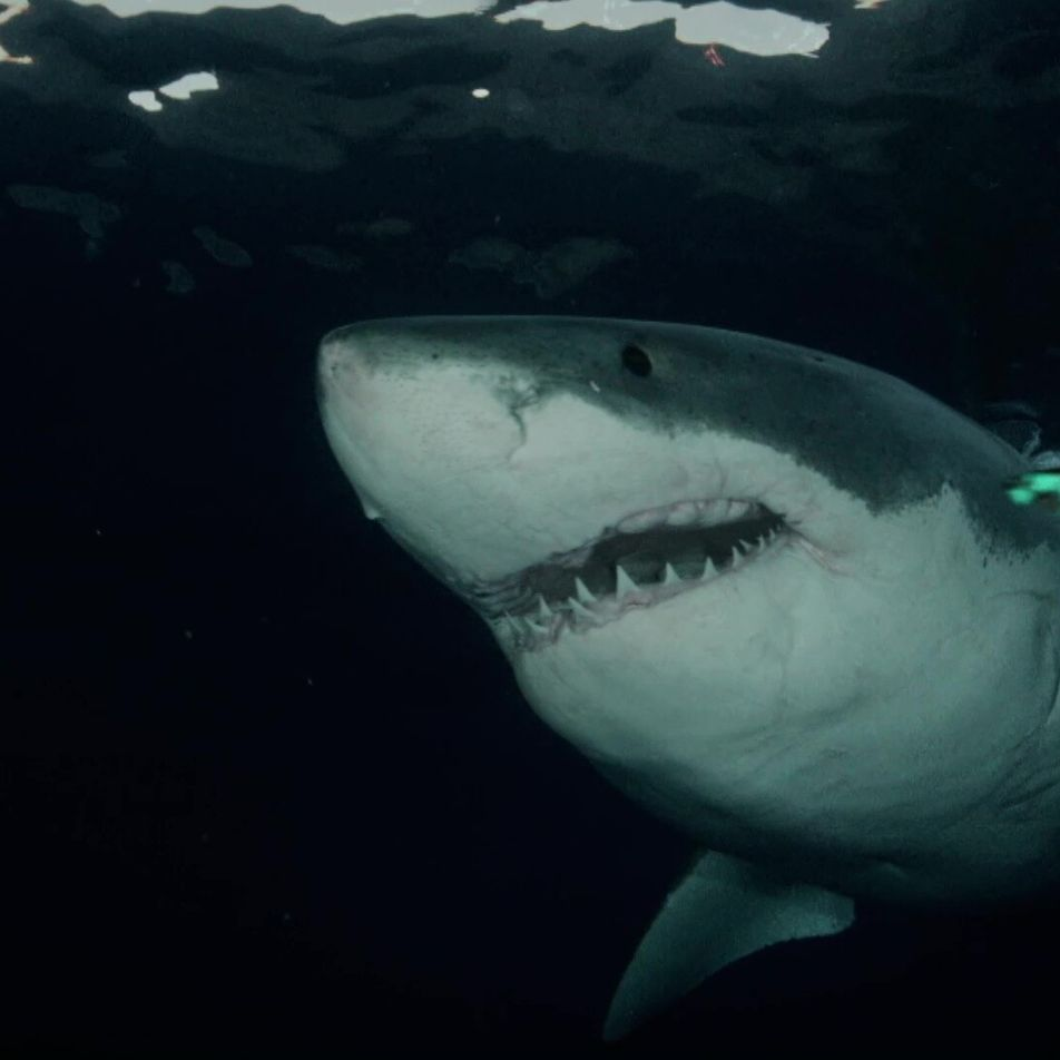 Sharkfest 2021: Grandes Nomes, Tubarões Ainda Maiores