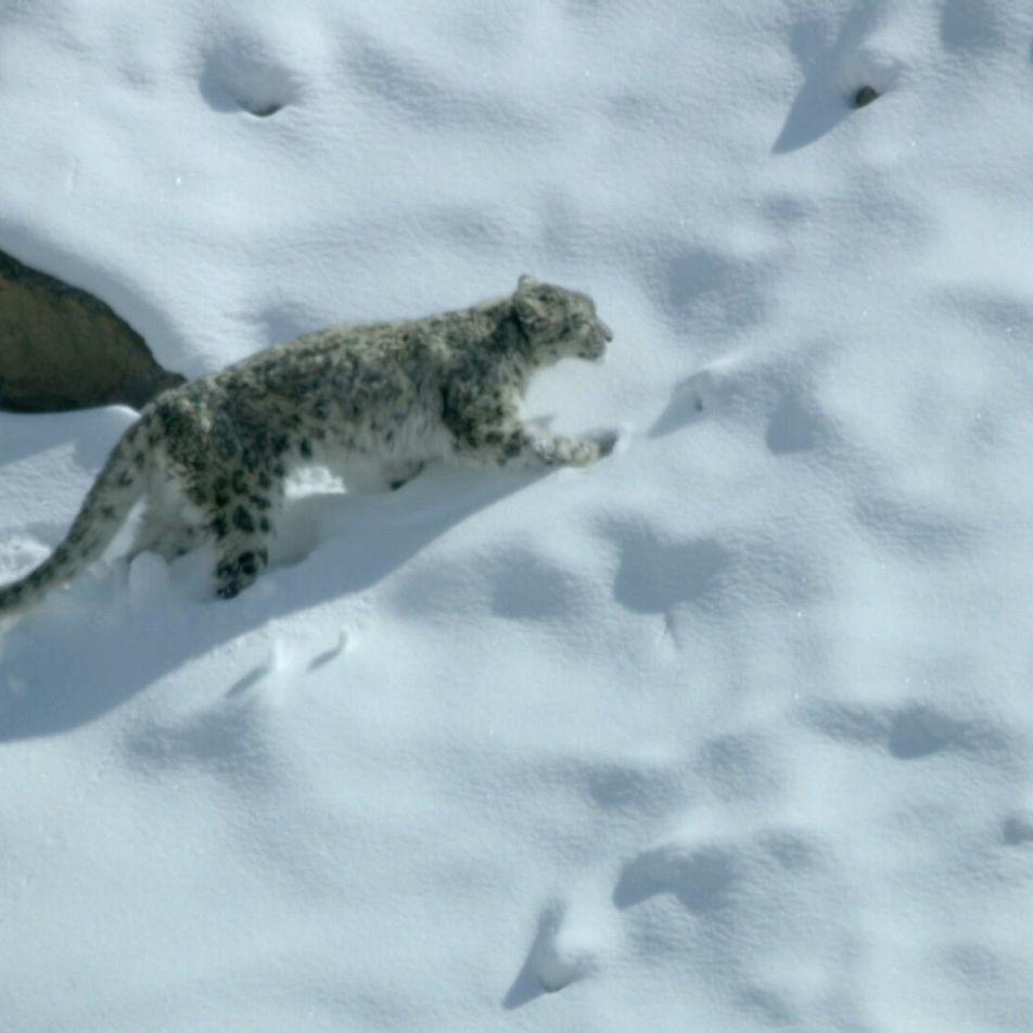 Caça de um leopardo-das-neves faminto