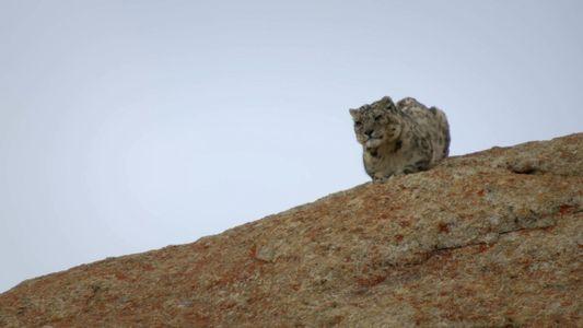 Leopardo-das-neves tenta terminar a sua refeição