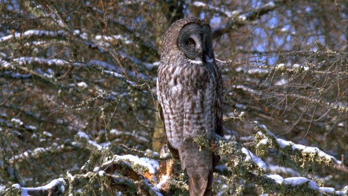 A super audição das corujas ajuda-as a caçar