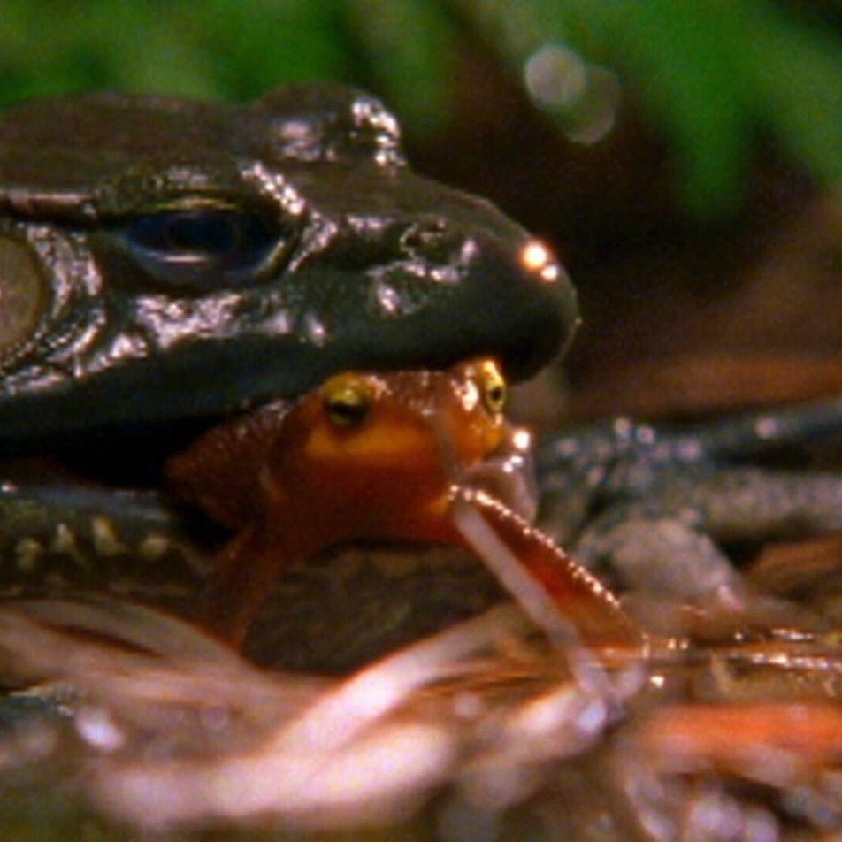 Veja como este tritão escapa à morte depois de ser engolido por um sapo