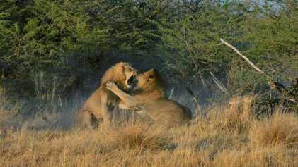 O que a luxúria une, a luxúria divide: os irmãos leões lutam por amor