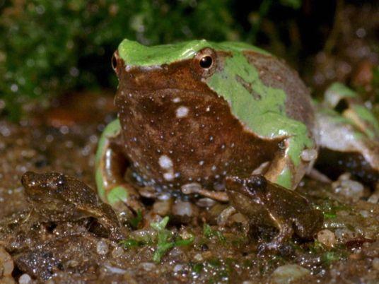 Veja estes girinos a transformar-se em rãs bebés!