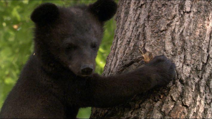 The Black bear