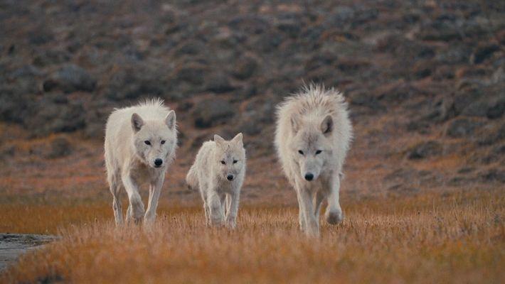 A Rainha dos Lobos e as Crias