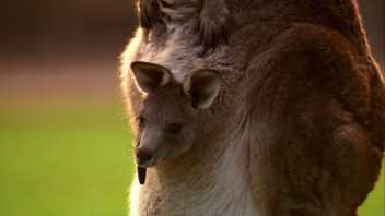 O incrível nascimento de uma cria de canguru