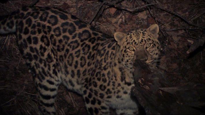 The rare Amur Leopard