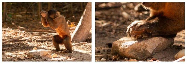 Esquerda: Para abrir os cajus, os macacos-prego usam pedras arredondadas que variam entre 25 milímetros e ...