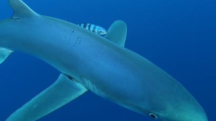 De Onde Vêm os Tubarões Bebés?