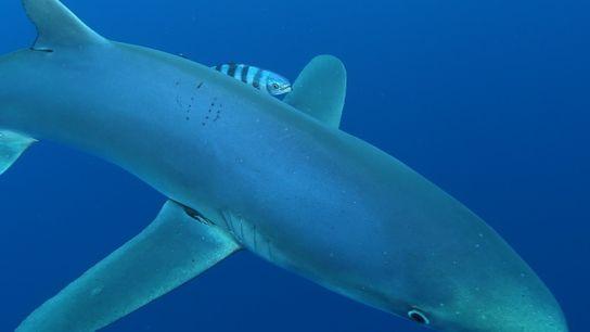 Marcas de dentadas no dorso, como as que se vêem neste tubarão-azul fotografado nos Açores, são ...