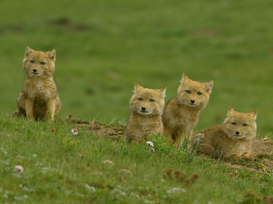 Crias Enternecedoras de Raposa-dos-himalaias
