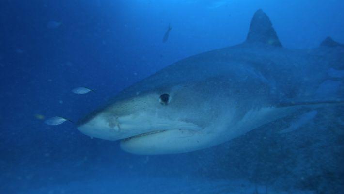 Tubarões-Tigre Caixotes de Lixo do Mar
