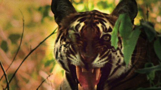 Tigre vs Macacos