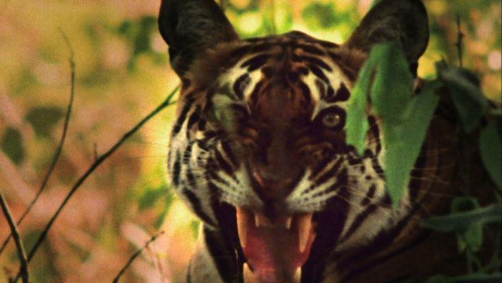 Tigre vs. Macacos