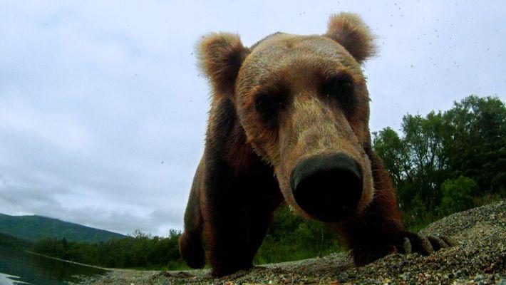 O urso romeno zangado