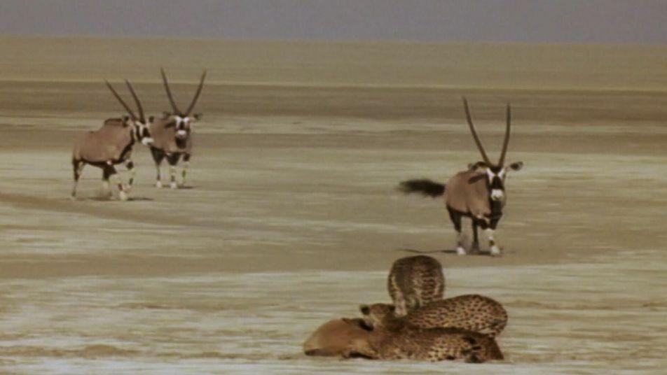 Uma aliança de irmãos chitas tenta caçar um órix