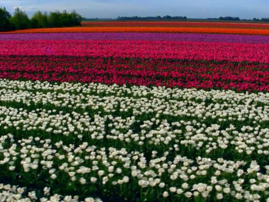 Extraordinários campos de tulipas