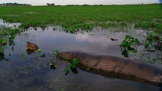 Anaconda Devora Uma Capivara Gigante