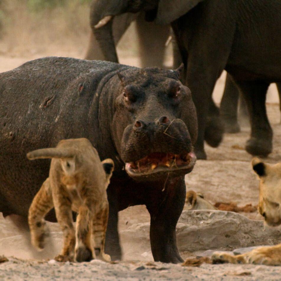 Hipopótamo vs. Leões