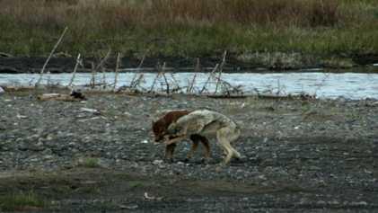 Bebé Bisonte Enfrenta Um Lobo e Vence-o