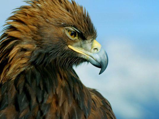 O órgão sensorial especial das águias-reais