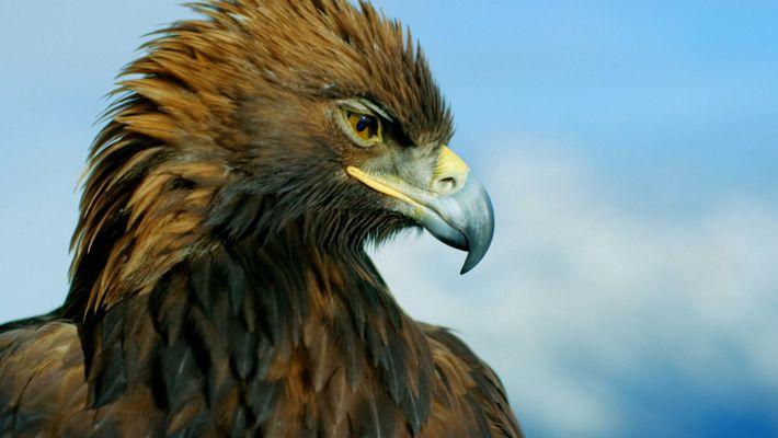 O órgão sensorial especial das águias-reais fêmeas
