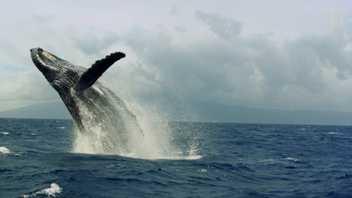 A corrida do cio das baleias-corcunda