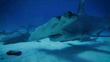 Será que os Tubarões Conseguem Sentir o  Magnetismo Vulcânico?   Volcano Sharks