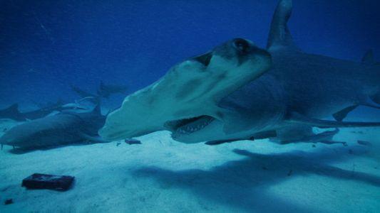 Será que os Tubarões Conseguem Sentir o  Magnetismo Vulcânico? | Volcano Sharks