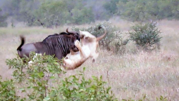 Dois leões contra um gnu macho. Quem vence?