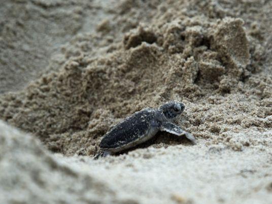 Veja: crias de tartarugas a fazer a primeira corrida para o mar