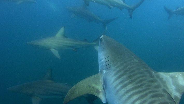 Ataques de tubarões nas Bahamas - qual será a causa?