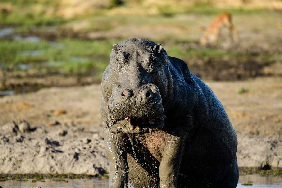 Hipopótamo africano no seu banho de lama vespertino.