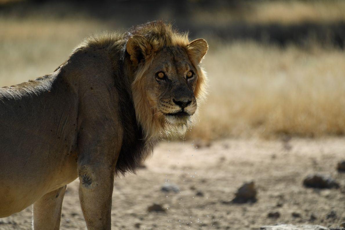Leão avistado após um bom gole de água, em Kgalagadi, na África do Sul.