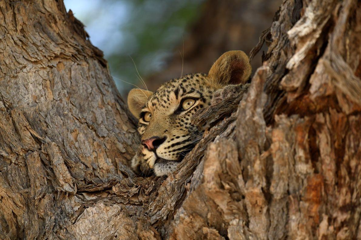 Jovem leopardo fêmea descansando após subir com uma gazela de leque para cima da árvore. Kgalagadi, ...