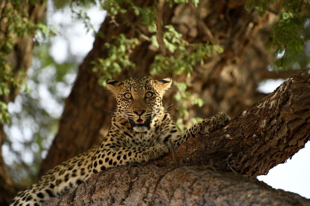 Olhar atento após a façanha de uma caça bem sucedida em Kgalagadi, na fronteira da África ...