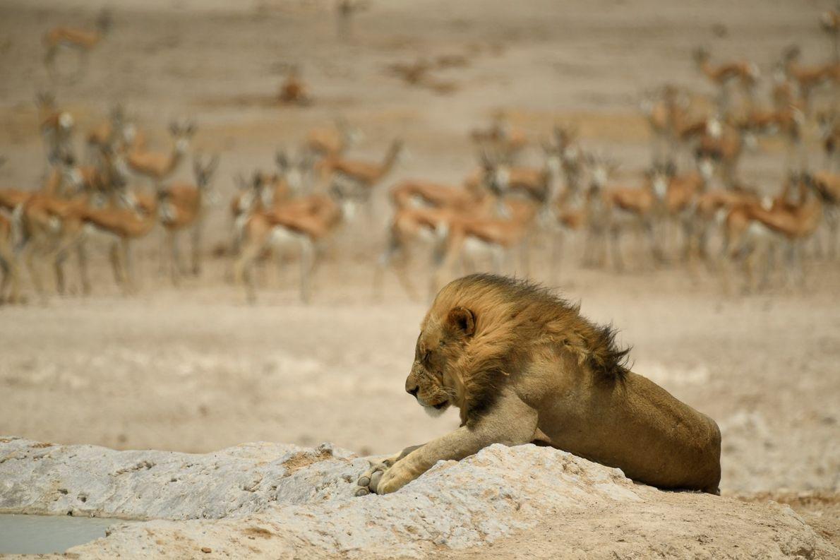 Leão descansa ao lado de um poço de água com gazelas de leque ao fundo
