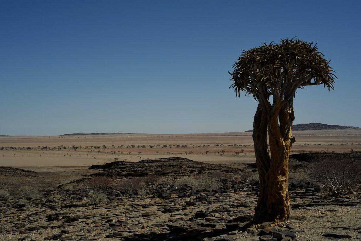 Árvore solitária no deserto da Namíbia.