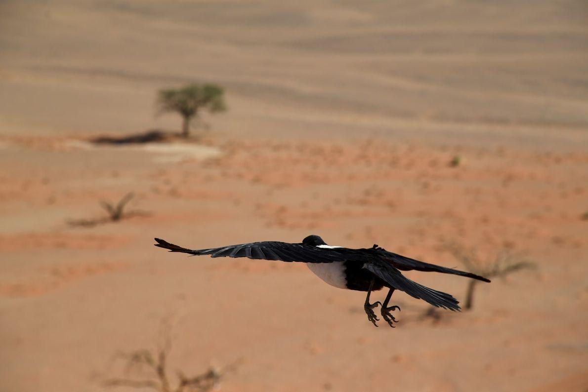 Após devorar o almoço, o corvo de colarinho branco abre as asas e descola