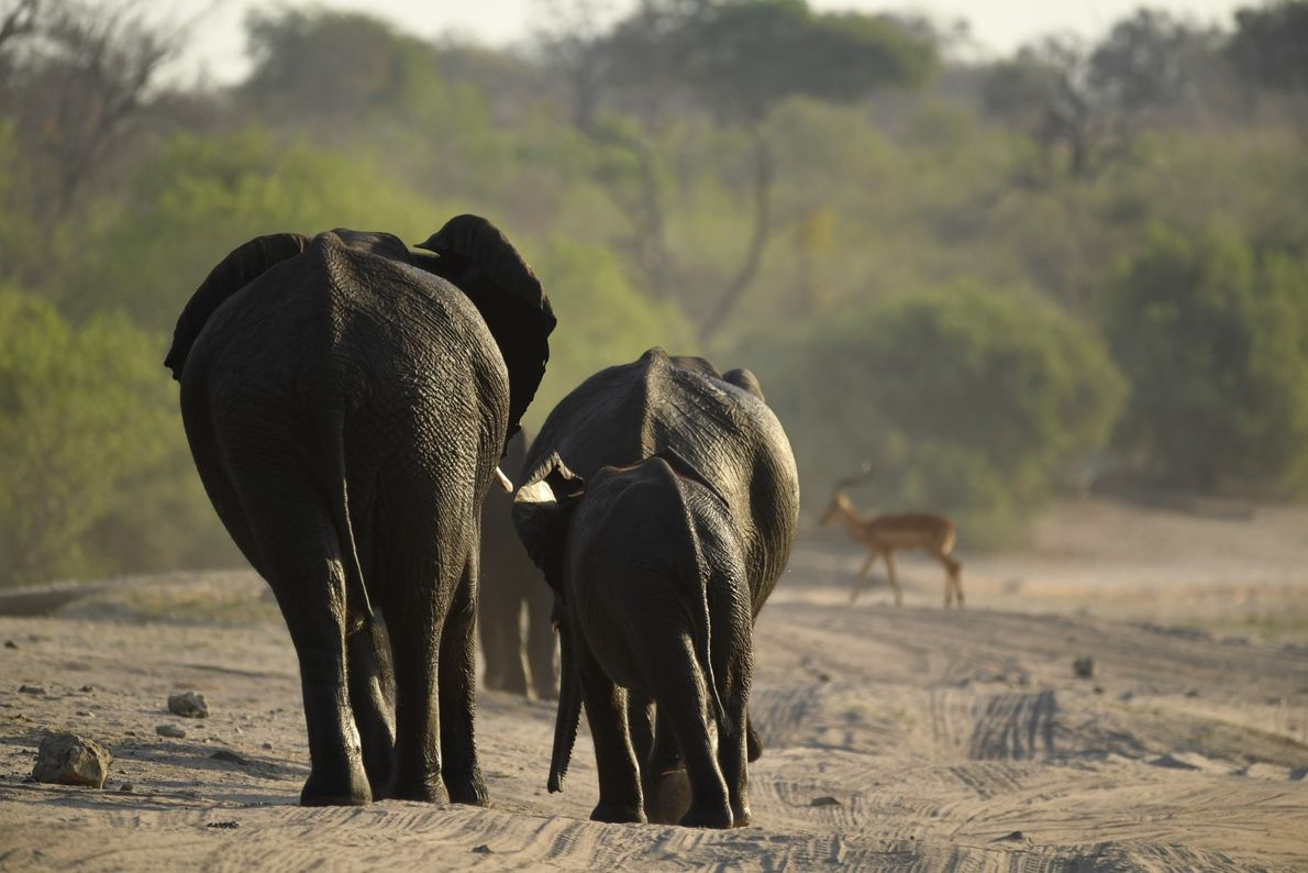 Grupo de elefantes caminha nas beiras do rio