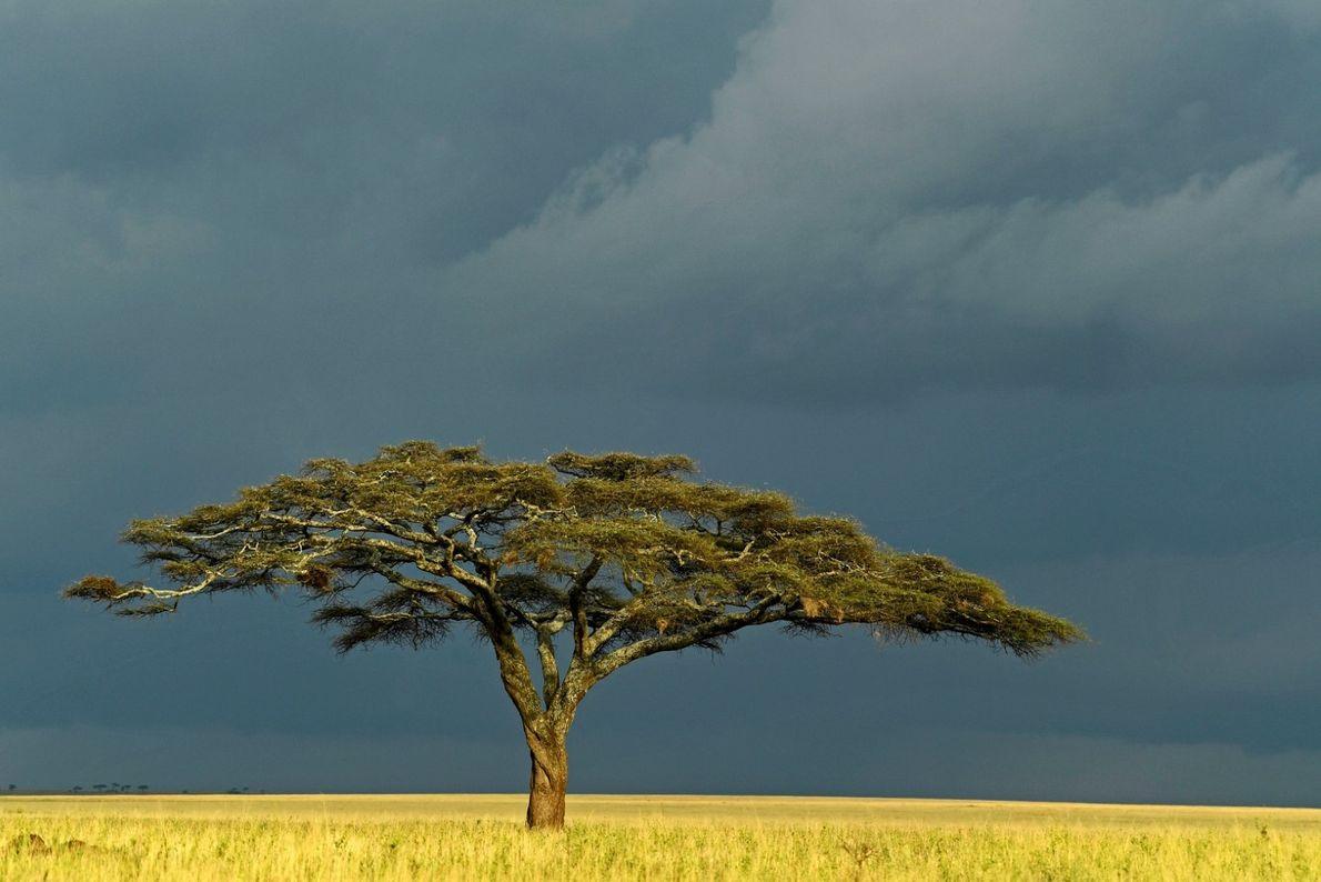 Acácia solitária nas planícies do Serengeti