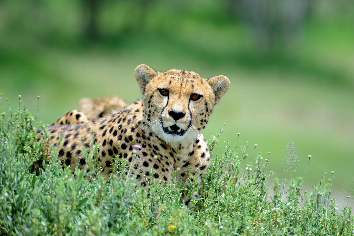 Uma chita fêmea com a sua cria protegida