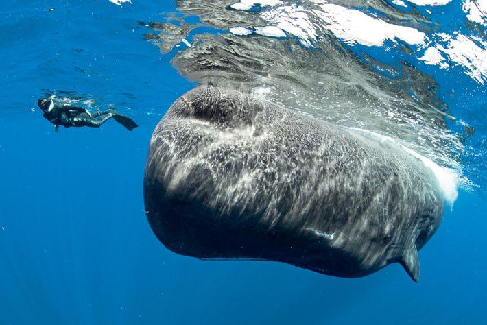 Em Dominica, os amantes de vida selvagem podem nadar ao lado de cachalotes, mas apenas com ...