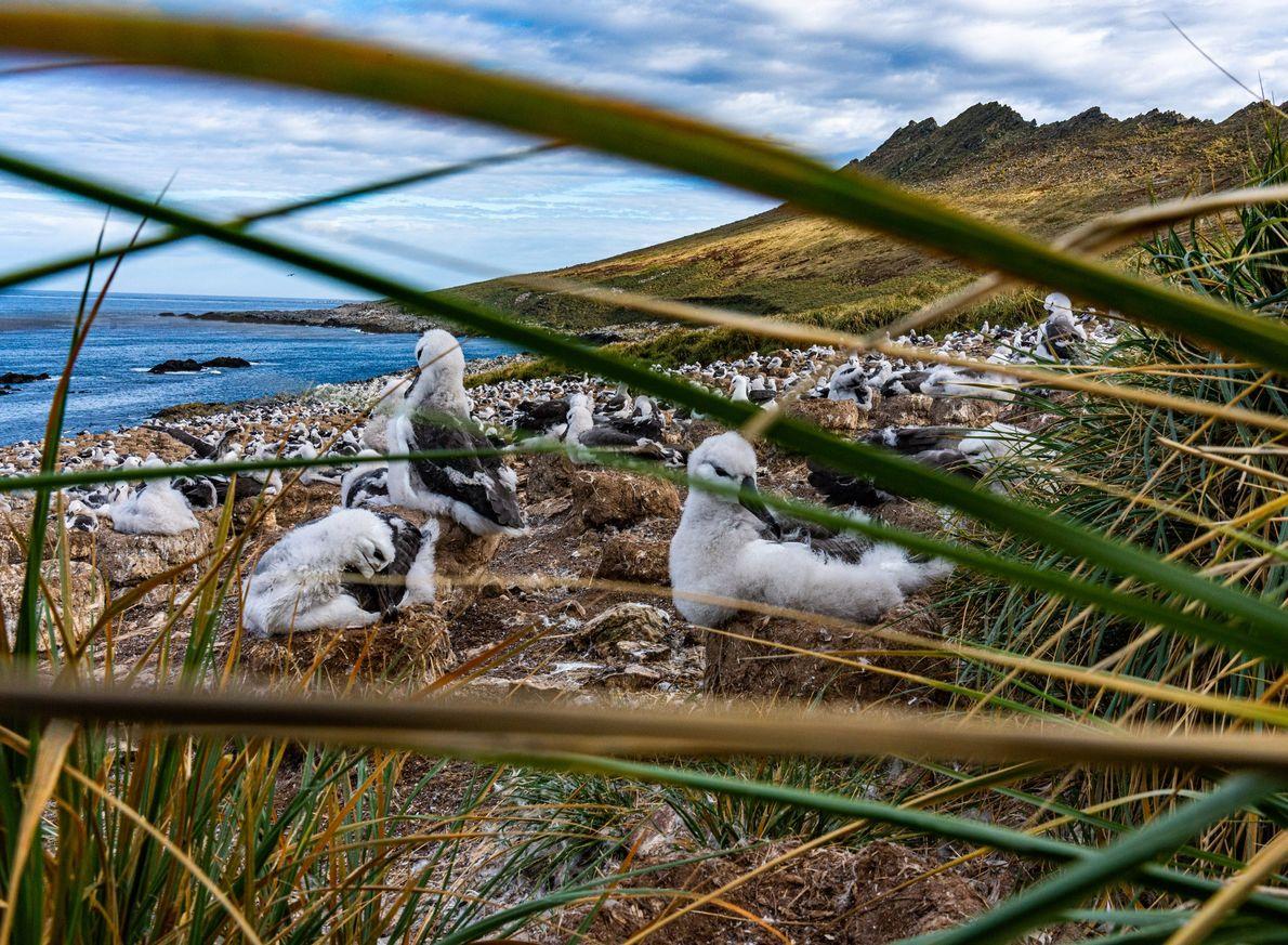 Nas Ilhas Malvinas, os albatrozes-de-sobrancelha aninham-se em pradarias costeiras, mas o seu habitat típico são os ...