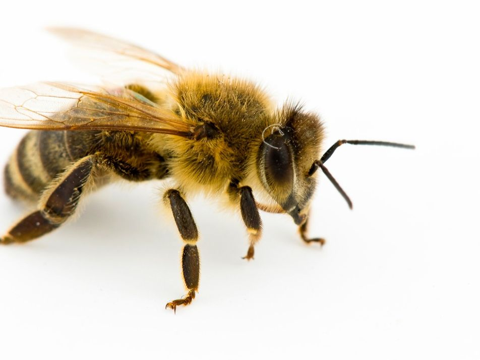 A Importância das Abelhas e Porque Precisamos Delas
