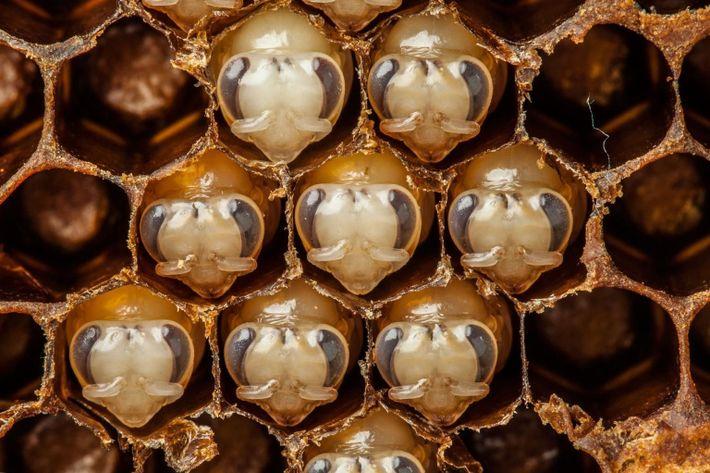 Larvas desenvolvem-se em abelhas adultas. Aos 10 dias de idade as abelhas segregam cera que depois ...