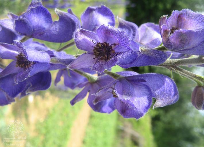 O acónito (ou capuz) mais encontrado em Portugal é o Aconitum napellus da subespécie lusitanicum.